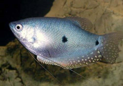 Гурами голубой (Trichogaster trichopterus)