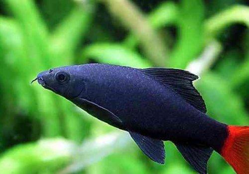 Лабео двухцветный (Labeo bicolor)